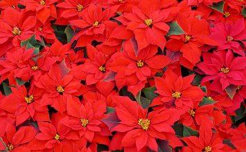 Cae 60% la venta de plantas navideñas en Portuguesa