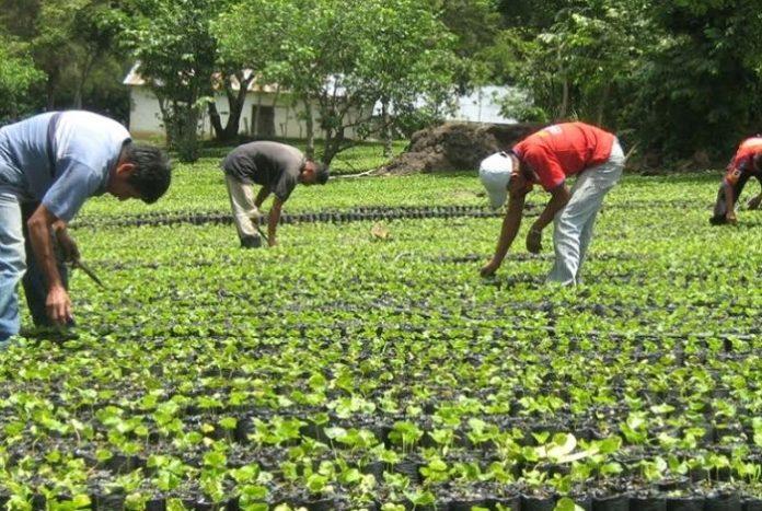 Las lluvias son la opción de riego para los agricultores ante la escasez de gasolina para prender bombas