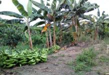 Reportan 70% de caída en la producción de plátano en Venezuela